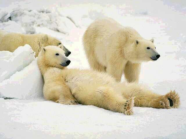 3-lazy-polar-bears.jpg