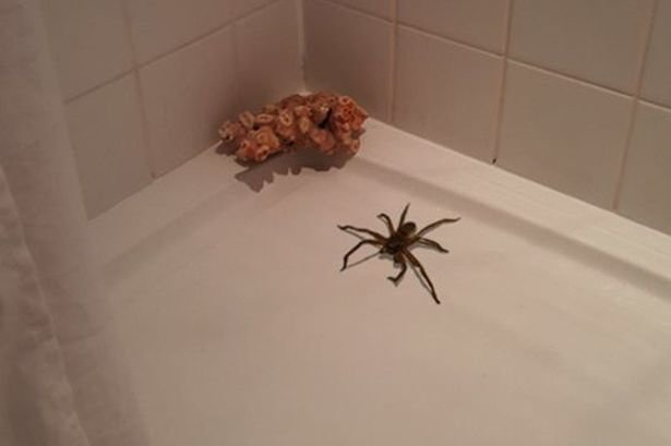 Gigantic-spider-climbs-out-of-shower.jpg