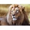 lionsm13