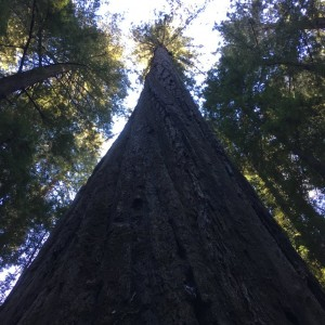 Redwoods Redcrest California