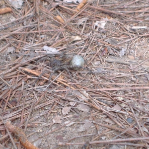 big ass wolf spider and egg sack that was under our tent