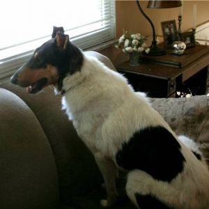 Smooth Collie James