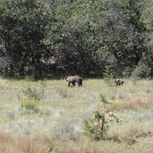 NM black Bear in Valle vidal