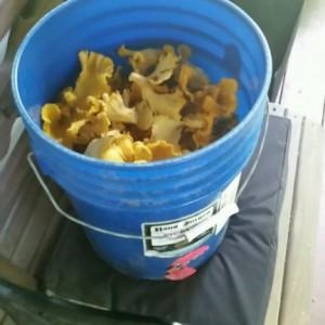 5 gallon bucket full of chanterelle mushrooms