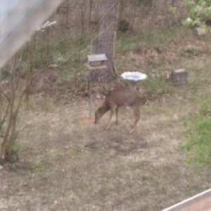 Deer eating from the bird feeder. There was a total of 6.