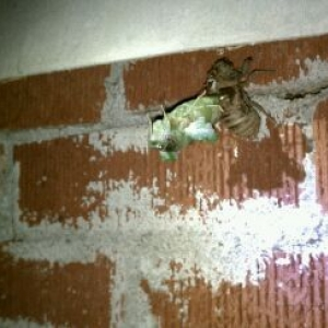 Cicada turning into a moth......thought it was pretty cool.