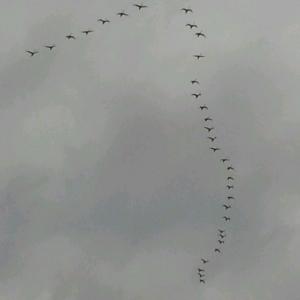 Snow geese!!!! :goingcrazy: