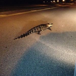 Gator visiting my taco