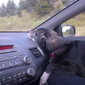 My old lazy dog on a road trip