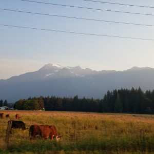 Forest Fire Drive Home cows