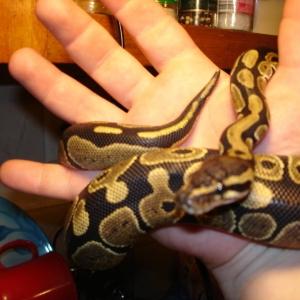 skitzo teh snake