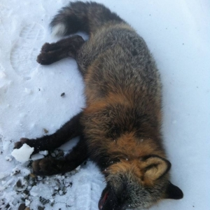 Cross Fox, Alaska