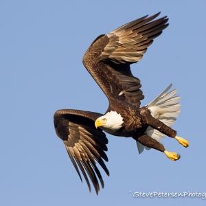 Southern Bald Eagle