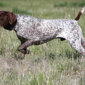 watching-german-shorthaired-pointer-dog-photo