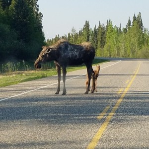 This mother moose was crossing the road, I stopped about 50 feet from her and her new born (he was still wobbly trying to walk)Then she stood there fo
